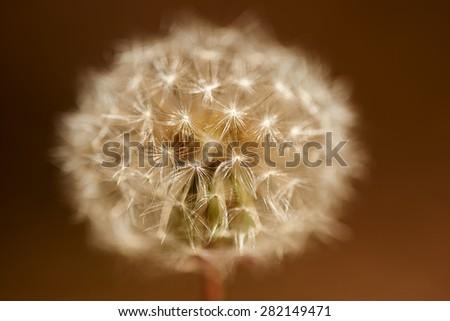 Macro Shot of a Dandelion - stock photo