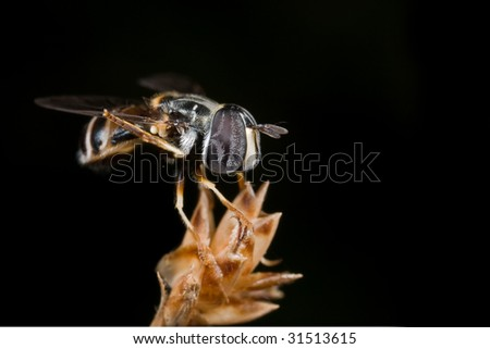 Macro shot of a dark brown hover fly