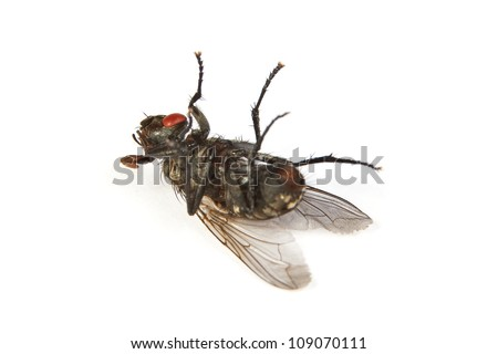 Macro shot of a dead housefly, Fly isolated on a white background - stock photo