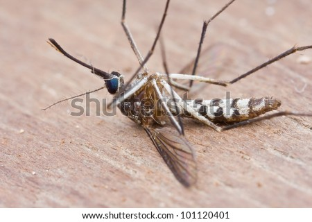 Macro shot of a dead mosquito - stock photo