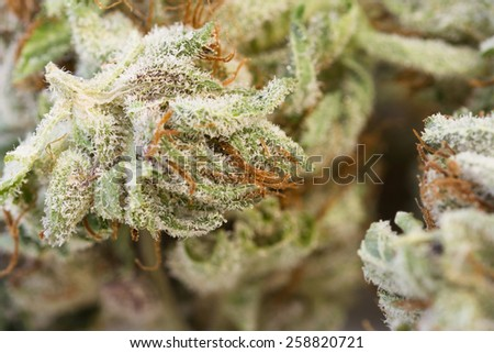 macro shot of a dried marijuana bud with crystalline structures - stock photo