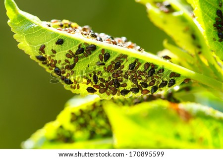 Macro shot of a garden parasites colony on a grean leaf - stock photo