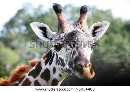 Macro shot of a giraffe's  head against a natural background - stock photo