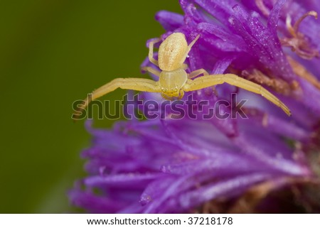 Macro shot of a golden crab spider on purple porcupine flower - stock photo
