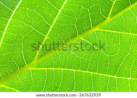 macro shot of a green leaf - visible structure of veins and stems - stock photo