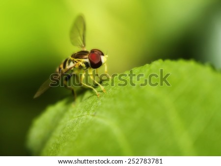 Macro shot of a hover fly on a leaf in soft focus - stock photo