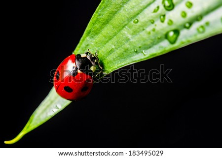 macro shot of a lady bug on a leaf, with black background - stock photo