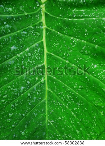 Macro shot of a  lushly green leaf with water drops