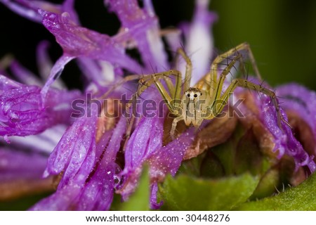 Macro shot of a lynx spider on purple wildflower