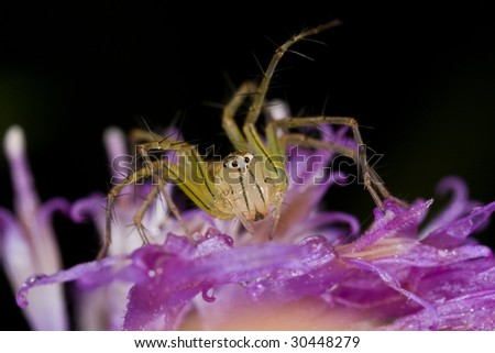Macro shot of a lynx spider on purple wildflower - stock photo