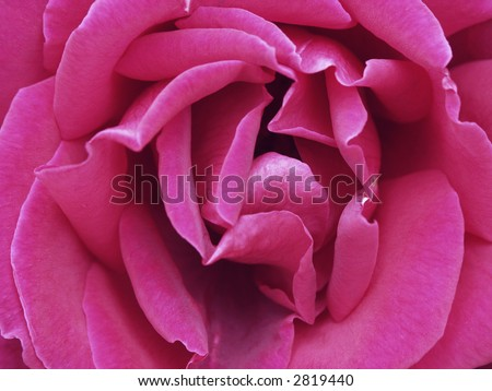 macro shot of a pink rose - stock photo