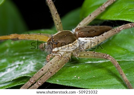 Macro shot of a raft spider on green leaf