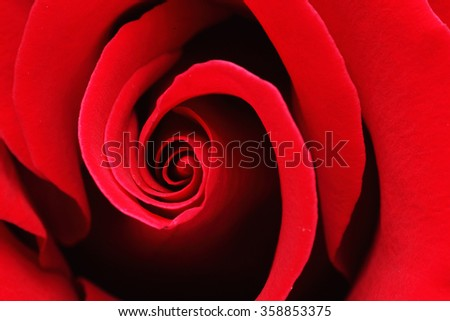 Macro Shot of a Red Rose - stock photo