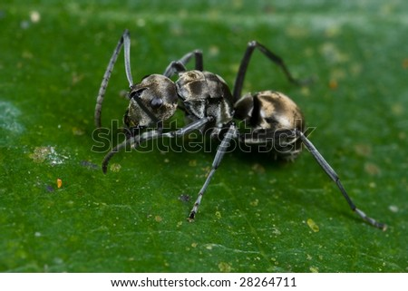Macro shot of a spiny black ant