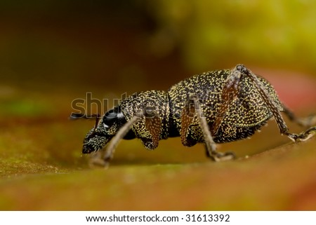 Macro shot of a weevil/snout beetle