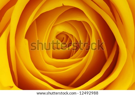 Macro shot of a yellow rose blossom - beautiful layers of petals