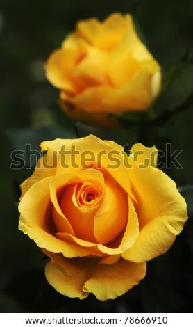 Macro shot of a yellow rose blossom - beautiful layers of petals - stock photo