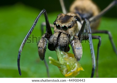 Macro shot of an ant-mimic jumping spider with prey - a hopper