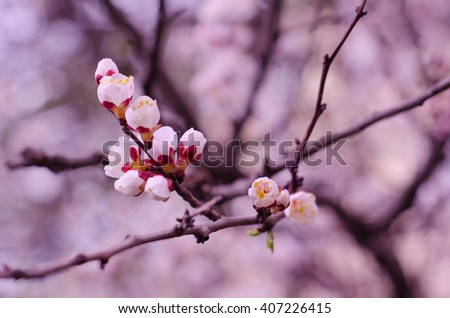 Macro shot of beautiful apricot flowers in the morning mist (selective focus, shallow DOF), in pink tones