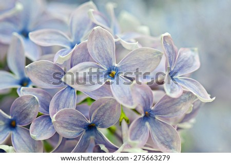Macro shot of beautiful lilac flower on blurred background. Shallow depth of field. - stock photo