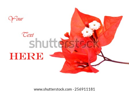 Macro shot of blood red bougainvillea flowers on a white background with copy space - stock photo