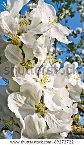 Macro shot of  blossoming branch of an apple-tree - stock photo