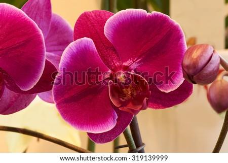 Macro shot of dark pink orchid shot indoors                                - stock photo