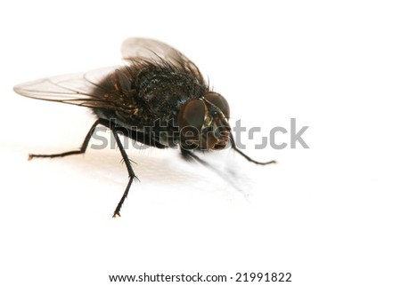macro shot of fly on a white background