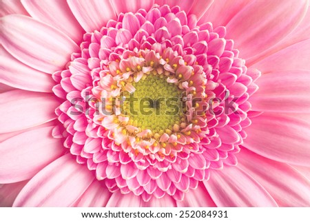 macro shot of Gerber Daisy - stock photo