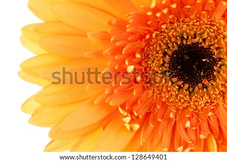 Macro shot of Gerbera Daisy flower - stock photo