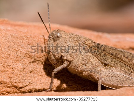 Macro shot of grasshopper in Utah desert. Scientific name is: trimerotropis pallidipennis.