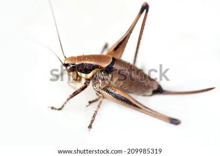 macro shot of grasshopper on white - stock photo