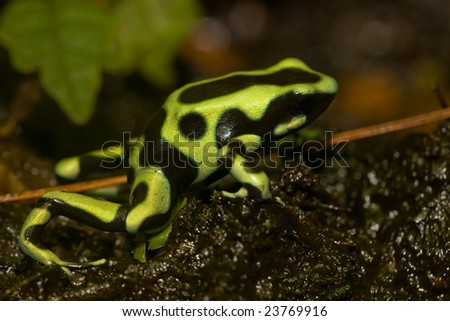 Macro shot of Green and Black Poison Dart Frog