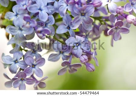 Macro shot of Lilac flowering tree (Syringa vulgaris). Selective soft focus. - stock photo