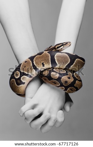 Macro shot of man and woman holding each others hands, which are connected with royal python snake- metaphore for adam and eve tempted in paradise; grey background, a lot of copyspace available - stock photo
