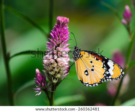 Macro shot of Orange Lacewing butterfly on cockscomb flower. - stock photo