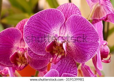 Macro shot of pink orchid shot indoors                                - stock photo