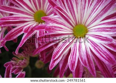 Macro shot of purple daisy flower blossom - stock photo