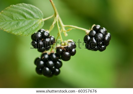 macro shot of ripe blackberry - stock photo