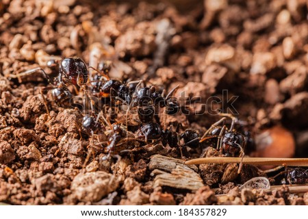 macro shot of some ants working together - stock photo