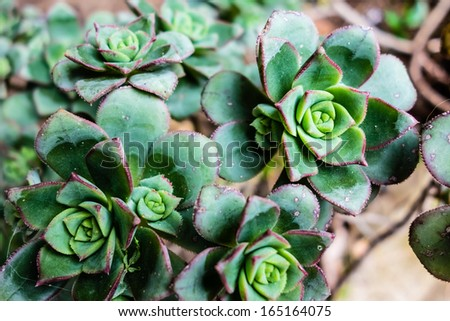 macro shot of some Hens and Chicks or House leek Succulent - stock photo