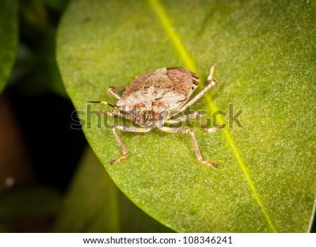 Macro shot of stinkbug or shield bug on the leaf of evergreen - stock photo