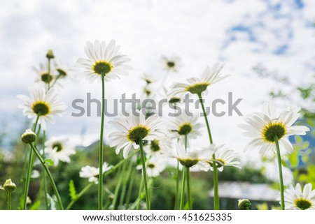 Macro shot of wild camomile on a white background.