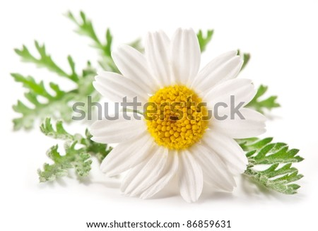 Macro shot of wild camomile over white. - stock photo