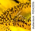macro shot of working bee into a sun flower, completely covered by pollen - stock photo