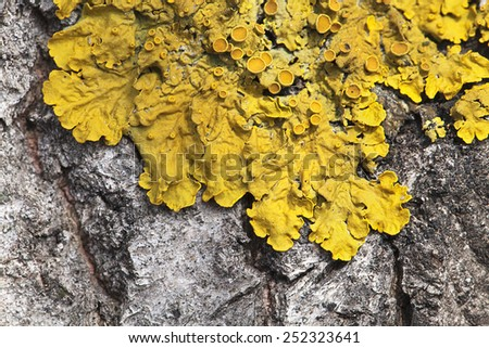 Macro shot of yellow lichen on a tree - stock photo