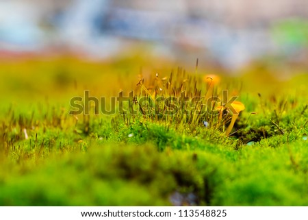 Macro shot  unidentified mushrooms, orange, growing in moss. Shot with shallow depth of field in natural light. - stock photo
