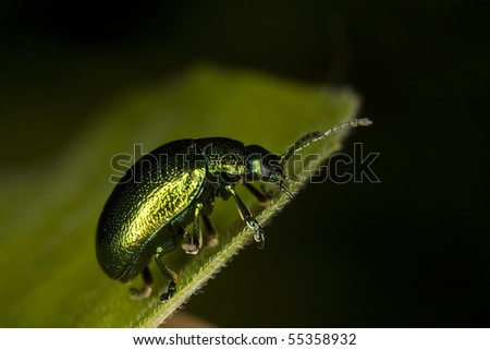Macro side on shot of a Tansy Beetle of a leaf - stock photo