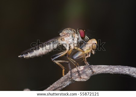 Macro side profile shot of a robber fly with prey - a leaf hopper