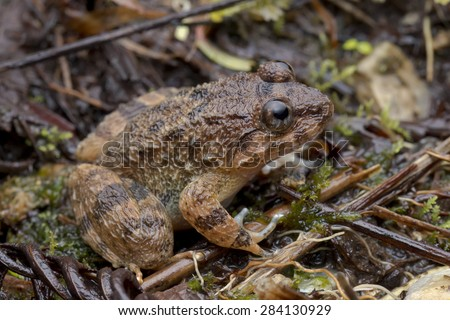 Macro side view image of a Corrugated Frog from Malaysia - stock photo